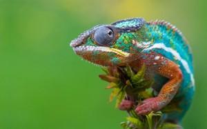 3915-chameleon-800x600